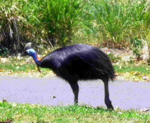 cassowary in Mission Beach