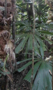 Fan Palm, Cape Tribulation
