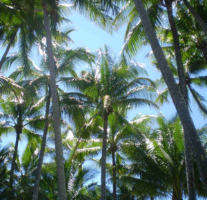 Palm Trees in Palm Cove